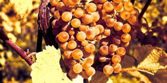 Символ винограда на ветке для гадания